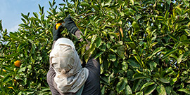 laborer picking oranges