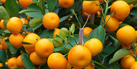 oranges in tree